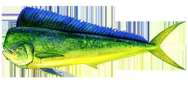 Dorados Image: Mardex SA. Pesca Blanca Ecuador